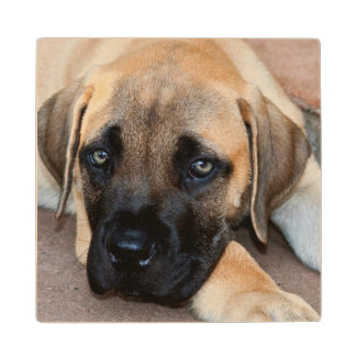 USA, California. Mastiff Puppy Lying On Cement Wood Coaster