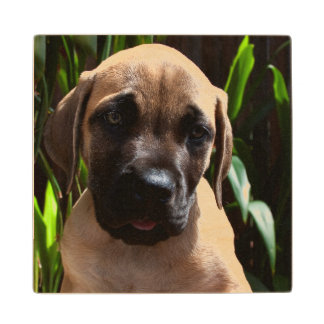 USA, California. Mastiff Puppy Portrait 2 Wood Coaster