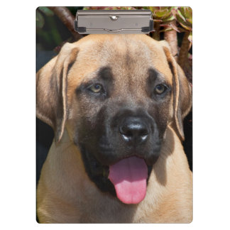 USA, California. Mastiff Puppy Portrait Clipboard