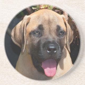 USA, California. Mastiff Puppy Portrait Coaster
