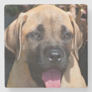 USA, California. Mastiff Puppy Portrait Stone Coaster