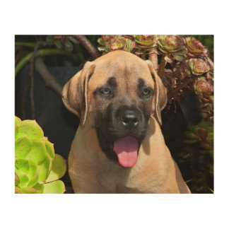 USA, California. Mastiff Puppy Portrait Wood Canvases
