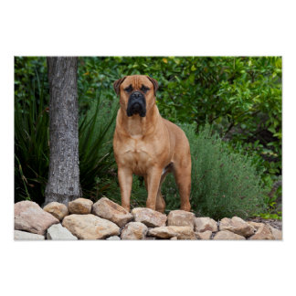 USA, California. Mastiff Standing In A Garden Poster