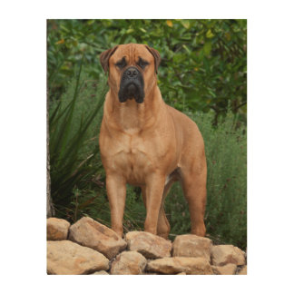 USA, California. Mastiff Standing In A Garden Wood Canvas