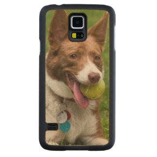 USA, California. Mcnab Shepherd Waiting Carved Maple Galaxy S5 Case
