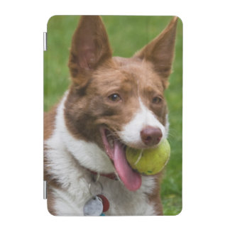 USA, California. Mcnab Shepherd Waiting iPad Mini Cover