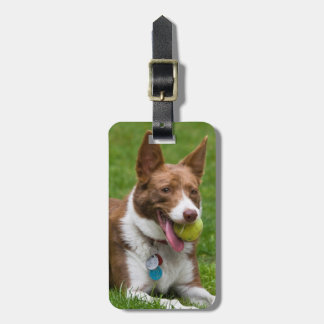 USA, California. Mcnab Shepherd Waiting Luggage Tag