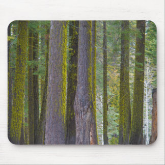USA, California. Moss Covered Tree Trunks Mouse Mat