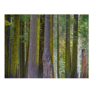 USA, California. Moss Covered Tree Trunks Postcard