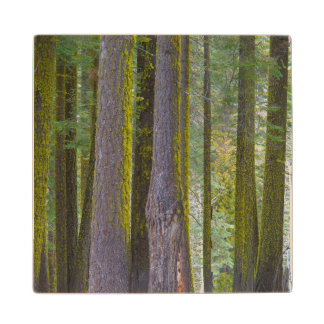 USA, California. Moss Covered Tree Trunks Wood Coaster