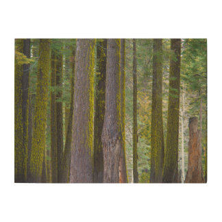 USA, California. Moss Covered Tree Trunks Wood Print
