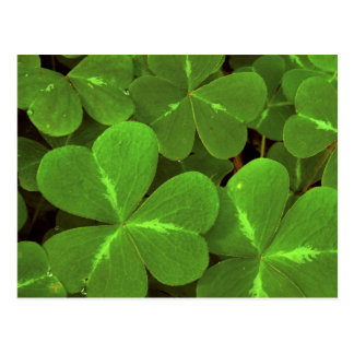 USA, California, Muir Woods. Close-up of clover Postcard