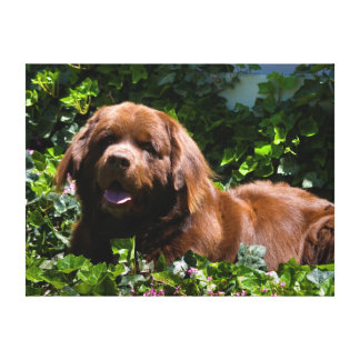 USA, California. Newfoundland Lying In Ivy Stretched Canvas Print