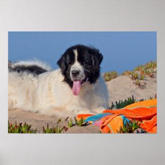 USA, California. Newfoundland Lying In Sand Poster