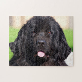 USA, California. Newfoundland Portrait Jigsaw Puzzle