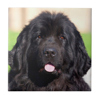 USA, California. Newfoundland Portrait Tile