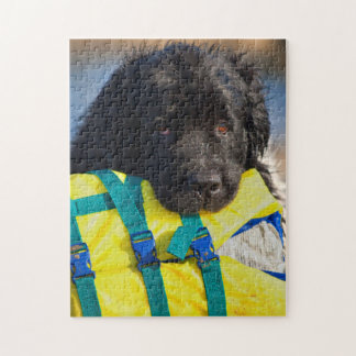 USA, California. Newfoundland With Life Vest Jigsaw Puzzle