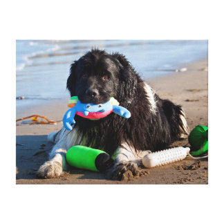 USA, California. Newfoundland With Toy In Mouth Canvas Prints
