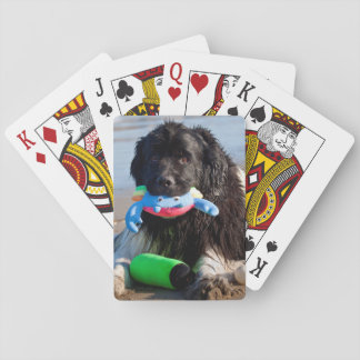 USA, California. Newfoundland With Toy In Mouth Playing Cards