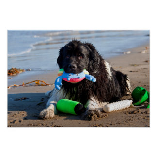 USA, California. Newfoundland With Toy In Mouth Poster