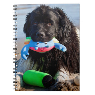 USA, California. Newfoundland With Toy In Mouth Spiral Notebook