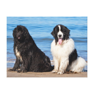 USA, California. Newfoundlands Sitting Stretched Canvas Print