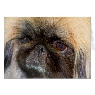 USA, California. Pekingese Close Up Card
