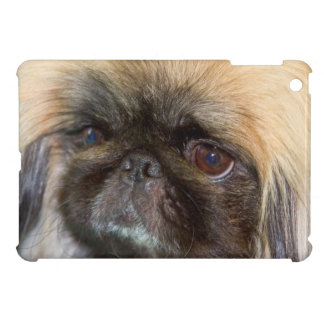 USA, California. Pekingese Close Up iPad Mini Covers