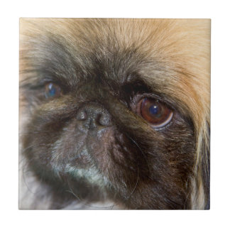 USA, California. Pekingese Close Up Tile