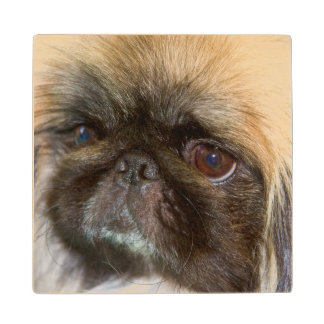 USA, California. Pekingese Close Up Wood Coaster