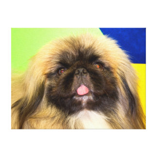 USA, California. Pekingese Looking At You Stretched Canvas Prints