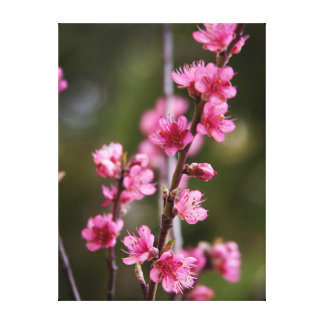 USA, California. Pink Blooms On A Tree Canvas Prints
