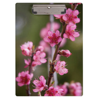 USA, California. Pink Blooms On A Tree Clipboard