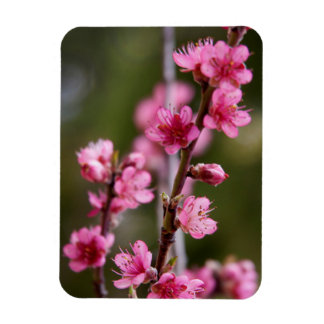 USA, California. Pink Blooms On A Tree Magnet