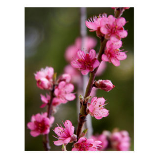 USA, California. Pink Blooms On A Tree Postcard