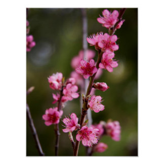 USA, California. Pink Blooms On A Tree Poster