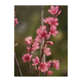 USA, California. Pink Blooms On A Tree Wood Print