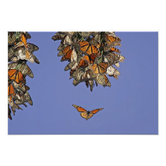 USA, California, Pismo Beach. Monarch Photo Print