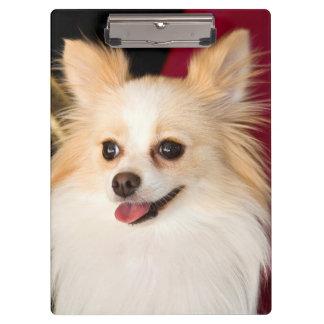 USA, California. Pomeranian Portrait With Red Clipboard