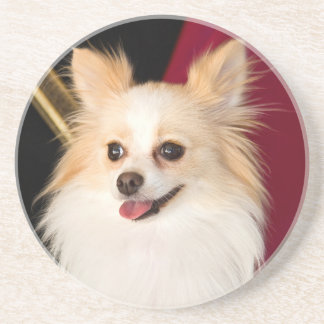 USA, California. Pomeranian Portrait With Red Coaster