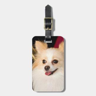 USA, California. Pomeranian Portrait With Red Luggage Tag