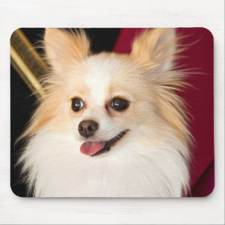 USA, California. Pomeranian Portrait With Red Mouse Mat