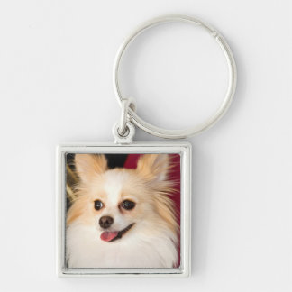USA, California. Pomeranian Portrait With Red Silver-Colored Square Key Ring