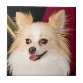 USA, California. Pomeranian Portrait With Red Tile