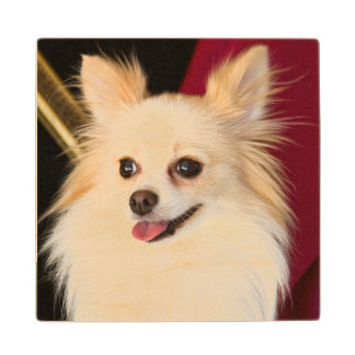 USA, California. Pomeranian Portrait With Red Wood Coaster