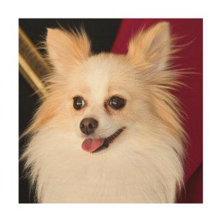 USA, California. Pomeranian Portrait With Red Wood Print