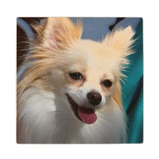 USA, California. Pomeranian Portrait Wood Coaster