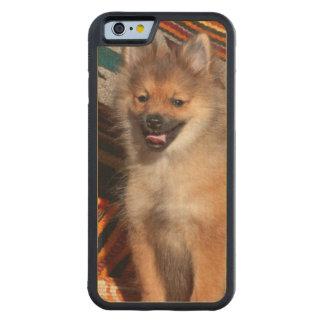 USA, California. Pomeranian Sitting Maple iPhone 6 Bumper Case