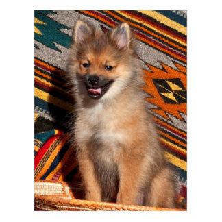 USA, California. Pomeranian Sitting Postcard