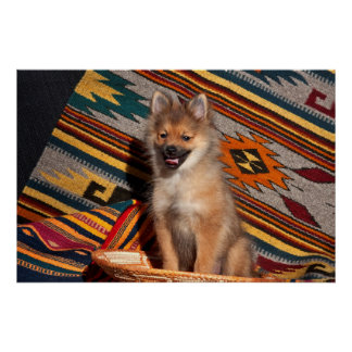 USA, California. Pomeranian Sitting Poster